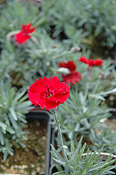 Frosty Fire Pinks (Dianthus