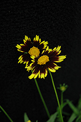 Cosmic Eye Tickseed (Coreopsis 'Cosmic Eye') at The Growing Place