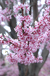 Eastern Redbud (Cercis canadensis) at The Growing Place