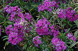 Poem Lilac Wallflower (Erysimum 'Poem Lilac') at The Growing Place