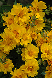 Presto Dwarf Tickseed (Coreopsis grandiflora 'Presto') at The Growing Place