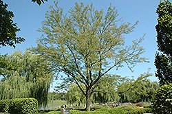 Skyline Honeylocust (Gleditsia triacanthos 'Skycole') at The Growing Place