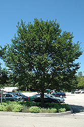 Triumph Elm (Ulmus 'Morton Glossy') at The Growing Place