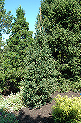 Cupressina Spruce (Picea abies 'Cupressina') at The Growing Place