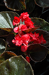 Doublet Red Begonia (Begonia 'Doublet Red') at The Growing Place