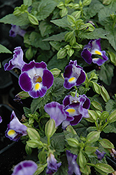 Catalina Midnight Blue Torenia (Torenia 'Catalina Midnight Blue') at The Growing Place
