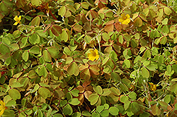 Molten Lava Shamrock (Oxalis vulcanicola 'Molten Lava') at The Growing Place