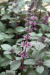 African Blue Basil (Ocimum 'African Blue') at The Growing Place