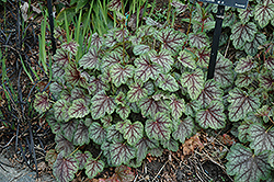Green Spice Coral Bells (Heuchera 'Green Spice') at The Growing Place