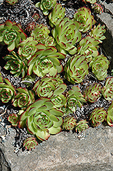 Hens And Chicks (Sempervivum tectorum) at The Growing Place