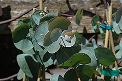 Silver Dollar Gum (Eucalyptus cinerea) at The Growing Place