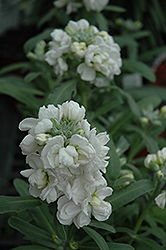 Vintage White Stock (Matthiola incana 'Vintage White') at The Growing Place