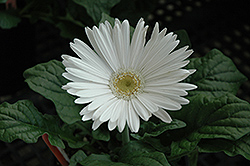 White Gerbera Daisy (Gerbera 'White') at The Growing Place