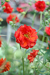 Blazing Sunset Avens (Geum 'Blazing Sunset') at The Growing Place