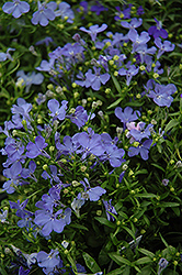 Riviera Sky Blue Lobelia (Lobelia erinus 'Riviera Sky Blue') at The Growing Place