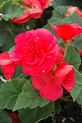 Nonstop® Rose Pink Begonia (Begonia 'Nonstop Rose Pink') at The Growing Place