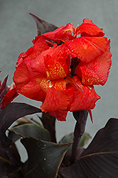 Tropical Bronze Scarlet Canna (Canna 'Tropical Bronze Scarlet') at The Growing Place