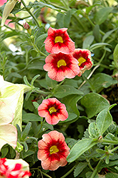 Superbells® Coralberry Punch Calibrachoa (Calibrachoa 'Superbells Coralberry Punch') at The Growing Place
