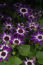 Senetti® Blue Bicolor Pericallis (Pericallis 'Senetti Blue Bicolor') at The Growing Place