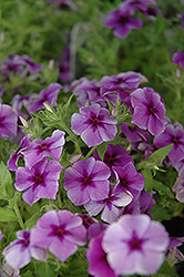 Intensia Blueberry Annual Phlox (Phlox 'Intensia Blueberry') at The Growing Place