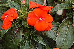 Sonic® Orange New Guinea Impatiens (Impatiens 'Sonic Orange') at The Growing Place