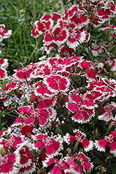 Floral Lace Mix Pinks (Dianthus 'Floral Lace Mix') at The Growing Place