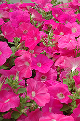 Easy Wave Pink Petunia (Petunia 'Easy Wave Pink') at The Growing Place