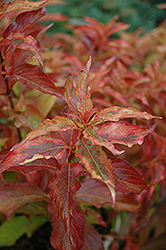 My Monet® Sunset Weigela (Weigela florida 'Sunset') at The Growing Place