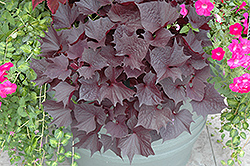 Sweet Caroline Bewitched Sweet Potato Vine (Ipomoea batatas 'Sweet Caroline Bewitched') at The Growing Place