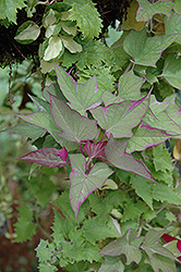 Tricolor Sweet Potato Vine (Ipomoea batatas 'Tricolor') at The Growing Place