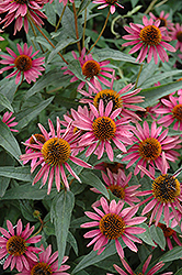 Pica Bella Coneflower (Echinacea purpurea 'Pica Bella') at The Growing Place
