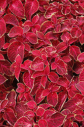 Wizard Velvet Red Coleus (Solenostemon scutellarioides 'Wizard Velvet Red') at The Growing Place