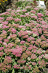 Brilliant Stonecrop (Sedum spectabile 'Brilliant') at The Growing Place