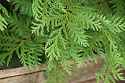 Soft Serve® Falsecypress (Chamaecyparis pisifera 'Dow Whiting') at The Growing Place