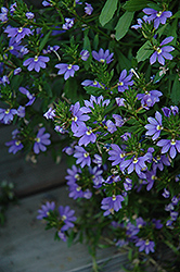 Whirlwind® Blue Fan Flower (Scaevola aemula 'Whirlwind Blue') at The Growing Place
