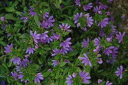 Bombay Dark Blue Fan Flower (Scaevola aemula 'Bombay Dark Blue') at The Growing Place