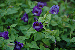 Summer Wave® Large Violet Torenia (Torenia 'Summer Wave Large Violet') at The Growing Place