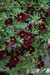 Can-Can® Dark Purple Calibrachoa (Calibrachoa 'Can-Can Dark Purple') at The Growing Place