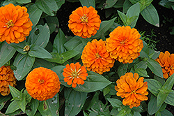 Magellan Orange Zinnia (Zinnia 'Magellan Orange') at The Growing Place