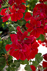 Precision Ruby Ivy Leaf Geranium (Pelargonium peltatum 'Precision Ruby') at The Growing Place