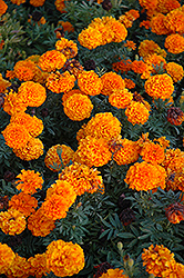 Taishan Orange Marigold (Tagetes erecta 'Taishan Orange') at The Growing Place