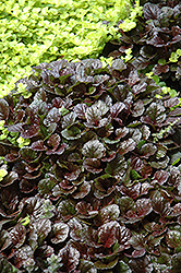 Black Scallop Bugleweed (Ajuga reptans 'Black Scallop') at The Growing Place