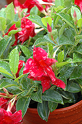 Sun Parasol® Crimson Mandevilla (Mandevilla 'Sun Parasol Crimson') at The Growing Place