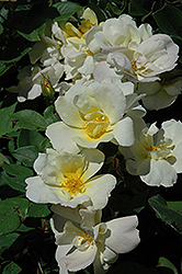 Sunny Knock Out® Rose (Rosa 'Radsunny') at The Growing Place