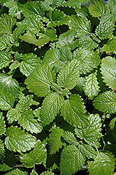 Lemon Balm (Melissa officinalis) at The Growing Place