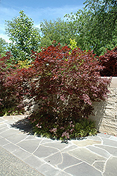 Sherwood Flame Japanese Maple (Acer palmatum 'Sherwood Flame') at The Growing Place