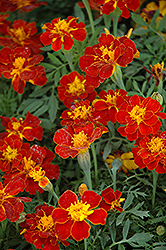 Safari Red Marigold (Tagetes patula 'Safari Red') at The Growing Place
