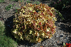 Caramel Coral Bells (Heuchera 'Caramel') at The Growing Place