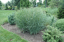 Heavy Metal Blue Switch Grass (Panicum virgatum 'Heavy Metal') at The Growing Place