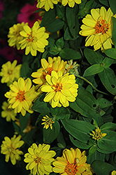 Profusion Double Yellow Zinnia (Zinnia 'Profusion Double Yellow') at The Growing Place